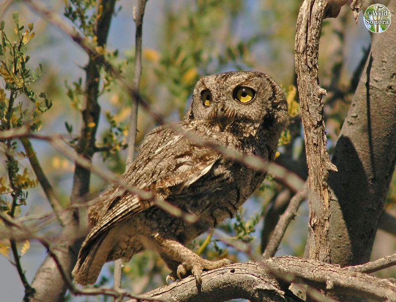Western screech-owl perched in ironwood