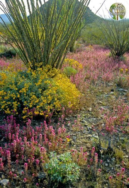 Wildflowers and ocotillo, Harquahala Mountains