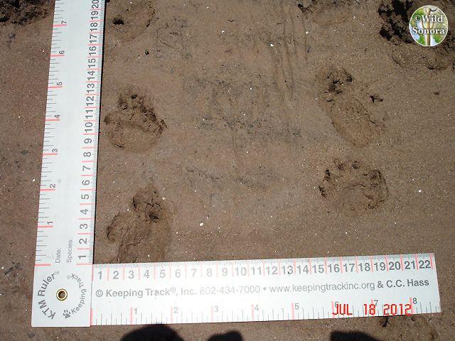 Yaqui slider tracks (Trachemys yaquia)