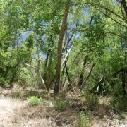 Large riparian gallery forest, Bass Canyon, Galiuro Mountains