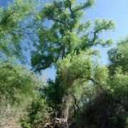 Huge cottonwood in Double R Canyons, Galiuro Mountains