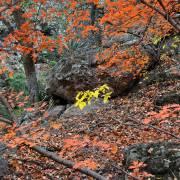Acer grandidentatum and Rhamnus (Frangula) betulaefolia