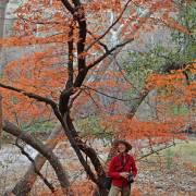 Acer grandidentatum changing color
