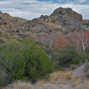 Arizona sycamore changing color on the Cajon Bonito