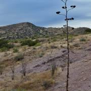 Agave seeding