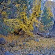 Acer grandidentatum fall colors