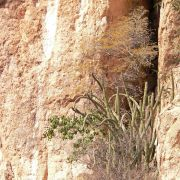 Rock fig, organ pipe, and Lysiloma microphylla, Cajón del Agua, Sonora