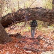 Large fallen willow, Cajón del Agua, Sonora