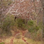 Forest of sycamores, Cajón del Agua, Sonora