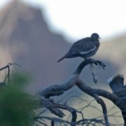 White-winged Dove, Devil's Canyon (Gaan Canyon), May 2010