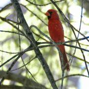 Male Northern Cardinal, Devil's Canyon (Gaan Canyon), May 2010