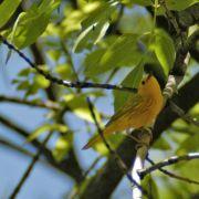 Yellow Warbler, Devil's Canyon (Gaan Canyon), May 2010