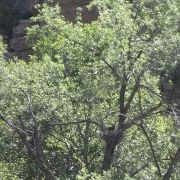 Zone-tailed Hawk on nest, Devil's Canyon (Gaan Canyon), May 2010