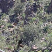 Zone-tailed Hawk, Devil's Canyon (Gaan Canyon), May 2010