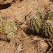 Echinocereus triglochidiatus var. arizonicus (Arizona Hedgehog)