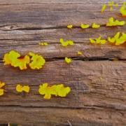 Guisamopa fungus