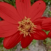 Guisamopa flower