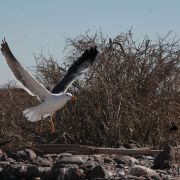 Gull taking off, Alcatraz Island, Kino Bay