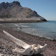 Whale skull, Alcatraz Island, Kino Bay