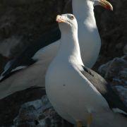 Yellow-footed Gull on Alcatraz Island, Kino Bay
