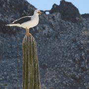 Yellow-footed gulls on cardon, Kino Bay
