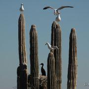Gulls and cormorants on cardon