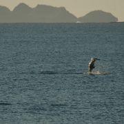 Dolphin jumping, Kino Bay