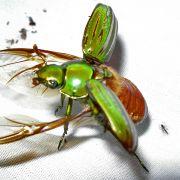 Beetle taking flight