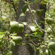 Alnus oblongifolia