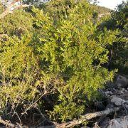 Quercus viminea! Sierra Cíbuta