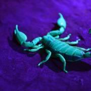 Pregnant scorpion