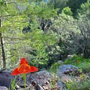 Tigridia pavonia