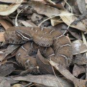Crotalus willardi willardi
