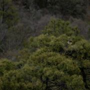 Sierra La Madera, short-tailed hawk
