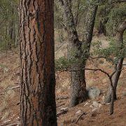 Sierra La Madera, Pinus engelmannii
