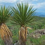 Yucca grandiflora
