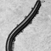 Millipede species