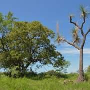 Quercus chihuahensis and Nolina matapensis