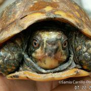Terrapene nelsoni, spotted box turtle (©Samia Carrillo)