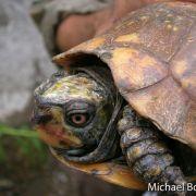 Terrapene nelsoni, spotted box turtle (©Michael Bogan)