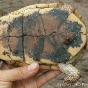 Terrapene nelsoni, spotted box turtle underside (©Samia Carrillo)