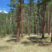 Ponderosa pine forest on a bench of the Black River