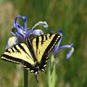 Rocky mountain iris with swallowtail butterfly