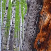 Aspens and dead pine