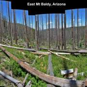 Panorama of spruce forest killed by bark beetles