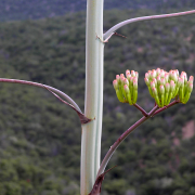 Agave palmeri stalk and flowers