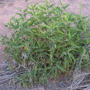 Ambrosia ambrosioides
