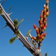 Photo: Ocotillo flowers about to bloom
