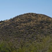 Buffelgrass taking over hill in Sonoran Desert
