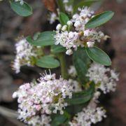 Ceanothus fendleri in flower